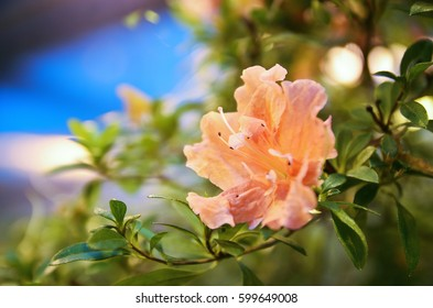 Closeup of the blooming pink roses in a greenhouse
