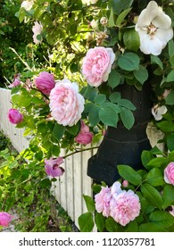 Closeup of blooming pink roses over a white fence as idyllic summer view.