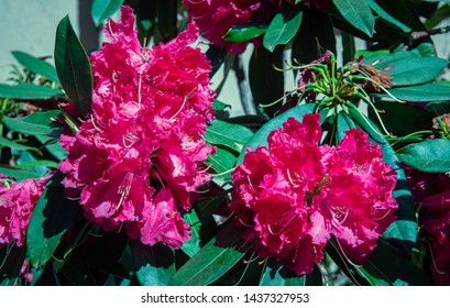 Close-up of a blooming plant of alpine rose (Rhododendron), woody plants of the heath family (Ericaceae), with fuchsia pink flowers and green leaves, Liguria, Italy