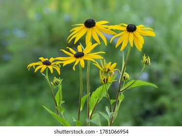 Closeup of blooming Rudbeckia, coneflowers