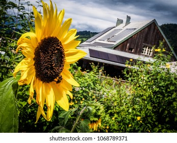 closeup of a blooming sunflower in the garden of a farm with a rustic wooden cottage in the back