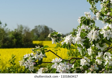 Closeup of a blossom apple tree by a rapeseed field
