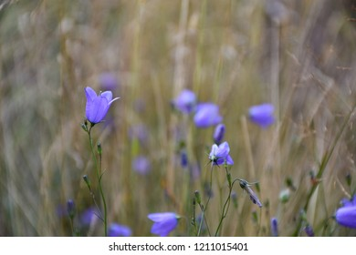 Closeup of a blossom bluebell flower in a summer field