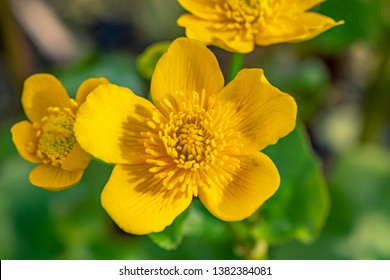 Closeup of the blossom of a marsh marigold (Caltha palustris) in the sunshine.