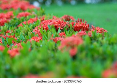 Closeup blossom red spike flowers with green bush. Needle flowers. King Ixora blooming
