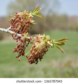 Close-up of a blossoming box elder maple (acer negundo) in spring