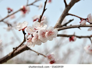 Close-up of blossoming peach branch.