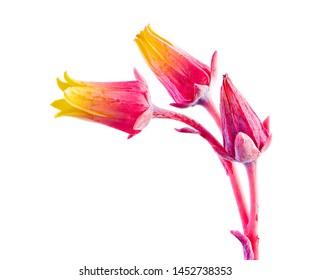 Closeup of blossoms of a houseleek flower