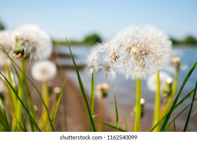 Close-up blowballs outdoor. White dandelions against river landscape. Blowball and blue sky in sunny day.