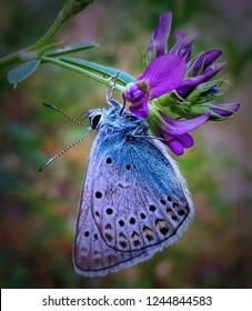 Close-up of blue batterfly on purple flower.