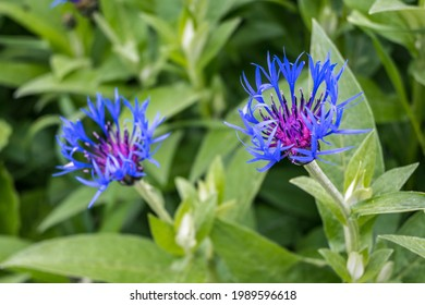 Close-up of blue blossom of mountain cornflower (Centaurea Montana) with natural green leaves background. Grows in meadows and open woodland. Plants for gardening, floristics and hobby.