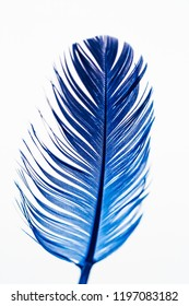 Closeup of a blue colored feather on white background