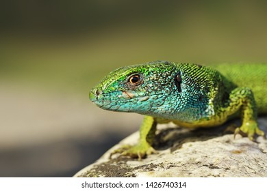 closeup of blue colored male green lizard ( Lacerta viridis )