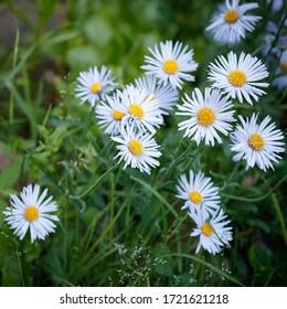 Gros plan sur des marguerites bleues. Pelouse avec des fleurs sauvages. Beauté naturelle avec des marguerites médicales florissantes dans le pré. Arrière-plan