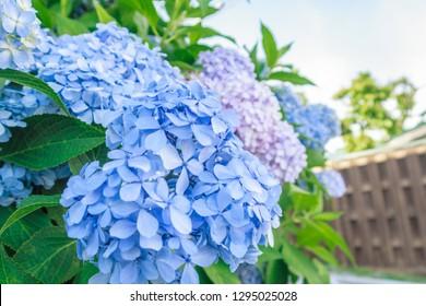 Closeup of blue hydrangea (Hydrangea macrophylla) On the road in Hakodate, Hokkaido