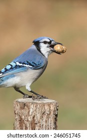 Close-up of a Blue Jay (corvid cyanocitta) eating peanuts with a green background and negative space