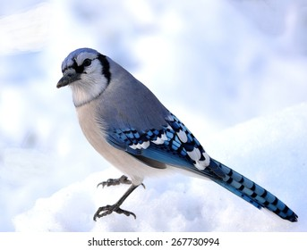 Closeup of a blue jay standing on the snow.