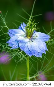 Closeup of a blue nigella flower blossom