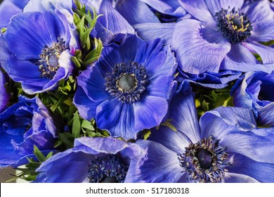 Closeup of a blue and purple gradient poppies anemones. Many flowers - great background. winter flower