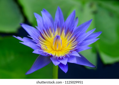 Purple flower with yellow center images stock photos vectors closeup blue purple lotus flower with yellow center mightylinksfo