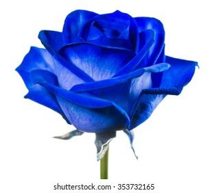 close-up blue rose isolated on white background macro