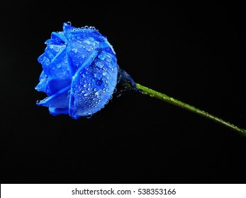 close-up of blue rose with water drops on black background