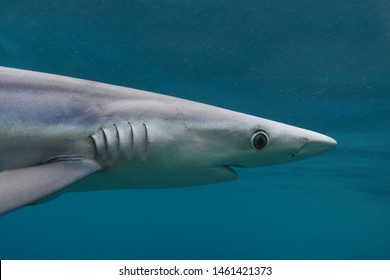 close-up of blue shark, Prionace glauca, Cape Point, South Africa, Atlantic Ocean