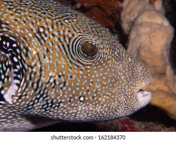 Close-up of a Blue Spotted Puffer fish