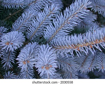 Closeup of Blue Spruce branches