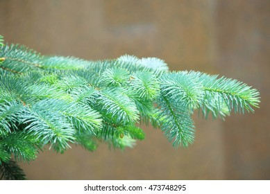 Closeup of blue spruce pine branches. Shallow depth of field with focus on center branch. Red background.