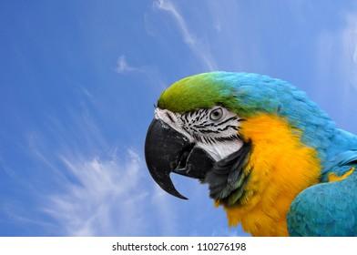 Close-up Blue-and-yellow Macaw Ara ararauna head on sky background