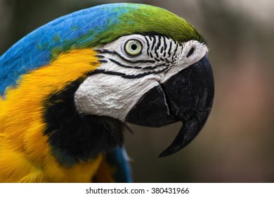 Closeup of a Blue-and-Yellow Macaw (Ara ararauna) in Brazil