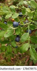 A closeup of blueberries in a forest