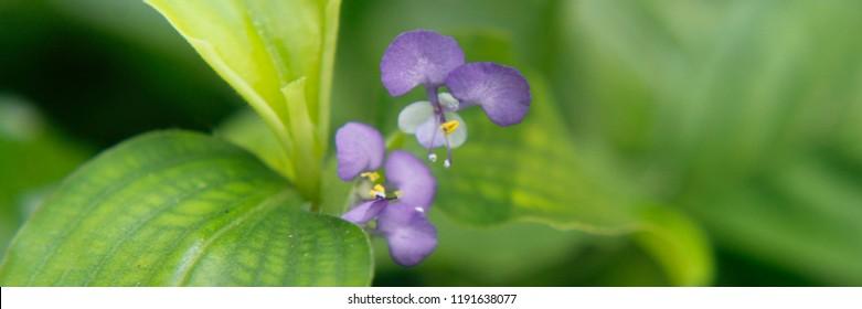 Close-up of Bluish-violet/Deep cobalt-blue/pala blue colour Commelina benghalensis Linn ( Day Flower, Dew Flower,Hindi Name: Kanchara, Kaua-kaini, Kanuraka) flower with green background blur.