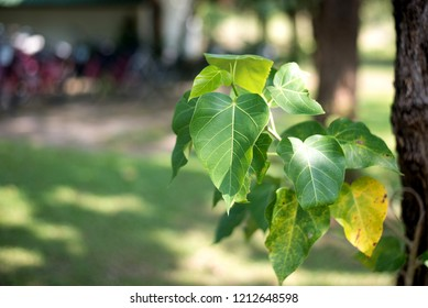 Close-up Bo leaves, green leaves with burr background