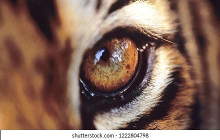 closeup of bobcat eye