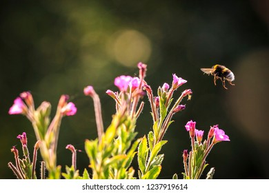 Closeup of a Bombus terrestris, the buff-tailed bumblebee or large earth bumblebee, feeding nectar of pink flowers