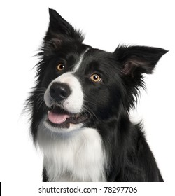 Close-up of Border Collie, 4 years old, in front of white background