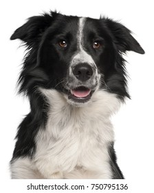 Close-up of Border Collie, 8 months old, in front of white background
