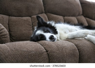 A closeup of a border collie lying on the couch with his eyes closed