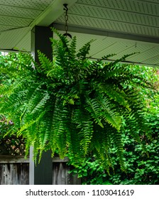 Close-up of a Boston Fern  hanging in a porch with lilac bushes and a wooden fence in the background.