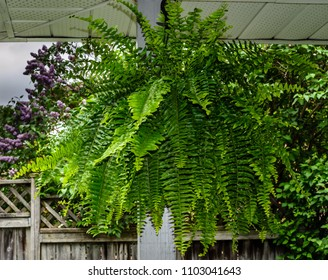 Close-up of a Boston Fern  hanging in a porch with lilac flowers and a wooden fence in the background.