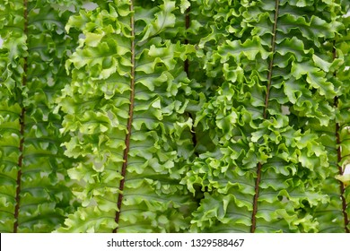 Closeup of Boston fern leaves