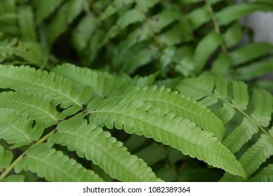 Close-up Boston fern Leaves for background.