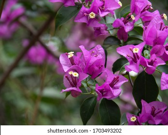 Close-up Bougainvillea Spectabilis flowers or Great Bougainvillea, small white flowers surrounded by bright purple-red bracts.