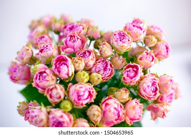 Close-up of Bouquet of pink spray peony roses. White background.