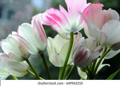 Closeup of a bouquet of tender white and pink tulips