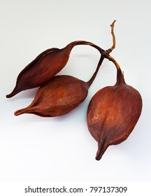 Closeup of Brachychiton rupestris fruits on white background. Australian flame tree seeds.