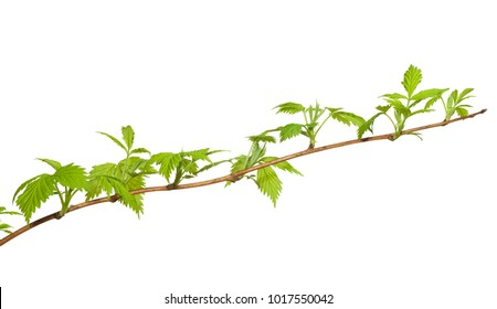 Close-up of bramble (Rubus sp.) brunch with fresh spring foliage isolated on white background