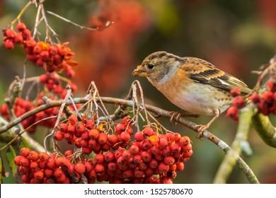 Closeup of a brambling bird, Fringilla montifringilla, in winter plumage feeding orange berries of Sorbus aucuparia, also called rowan and mountain-ash in a forest during Autumn season